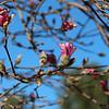 3-18-18: Tulip magnolia,