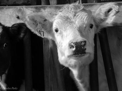 12-5-18: Creamery cow,