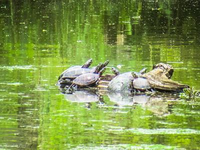6-23-18: turtles
