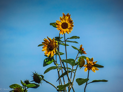8-7-18; SUnflowers, Dry River