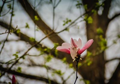 4-17-18: TUlip magnolia