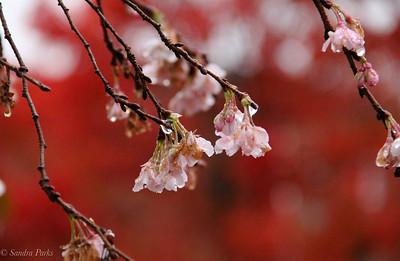 11-8-18: CHerry blossoms in November.