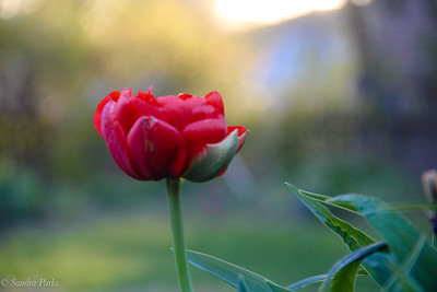 4-20-18: tulip  in the morning