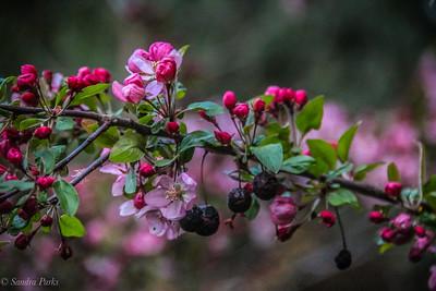 4-18-18: FLowering cherry