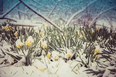 3-12-18: Wildwood daffodils