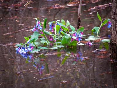 4-16-18: flooded bluebells