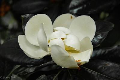 6-23-18: magnolia