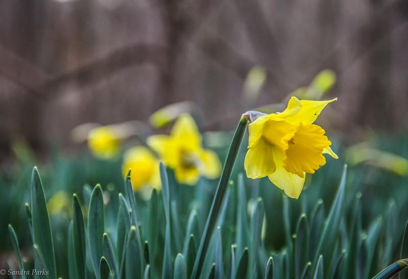 2-24-18: daffodils in the wild wood