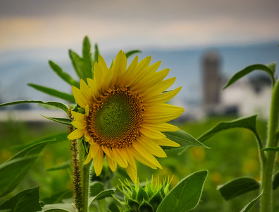 9-12-18: Sunflowers, Dry River