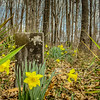 3--29-19: Daffodils in the graveyard, SPring Hill