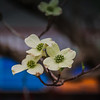 4-11-19: Dogwood, at home