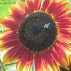 0-16-19: Red sunflower