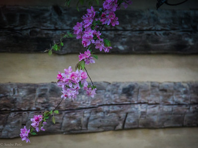 4-12-19:  Cherry blossoms, East Bank Street
