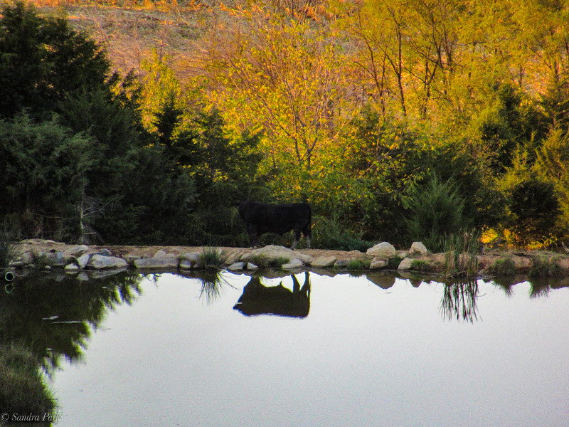 10-3-19: Reflections of a cow