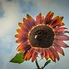 8-15-19: Sunflower