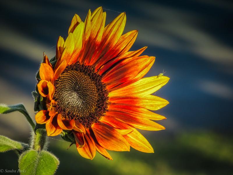 10-24-19: Sunflower, still blooming.