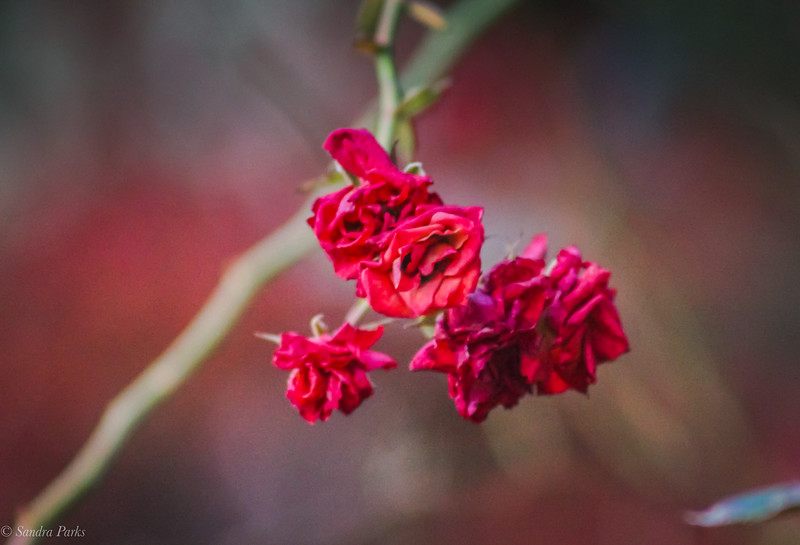 11-16-19: Last of the roses