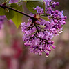 4-12-19: My lilacs bloomed today, in the rain.