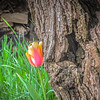 4-14-19: Spring Creek tulips