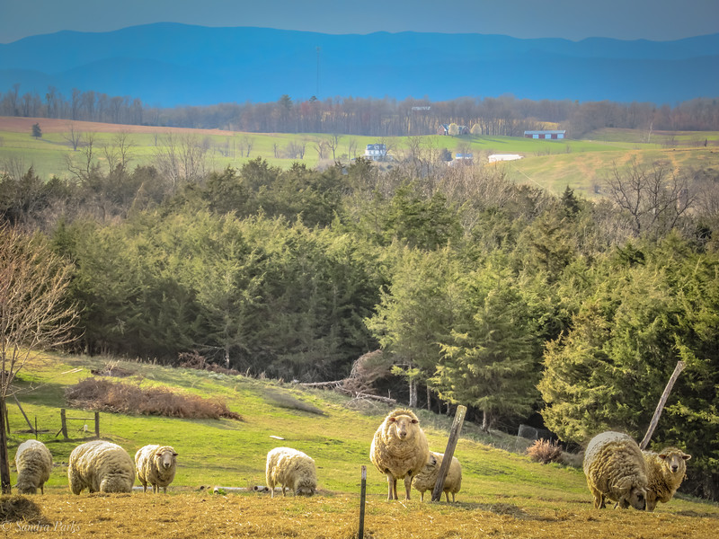 4-4-19: Sheep with a view