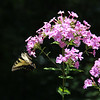 7-26-19: Phlox, with butterfly