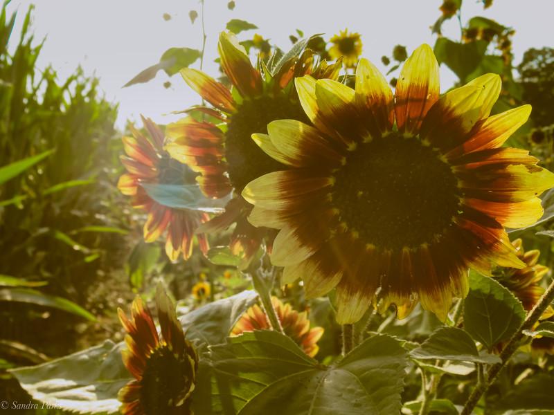 10-1-19: October sunflowers
