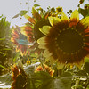 10-1-19: October sunflowers