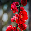 4-12-19:  FLowering Quince