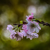 10-25-19: October cherry blossom -- beautiful, but confused.