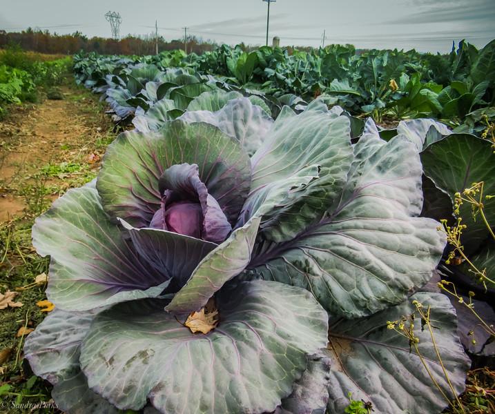 11-5-19: FLowering cabbage