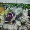 11-5-19: FLowering cabbage