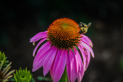 7-16-19: Echinacea, with bee