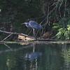 8-31-19: Heron at WIldwood