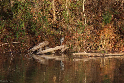 11-9-19: Heron at WIldwood