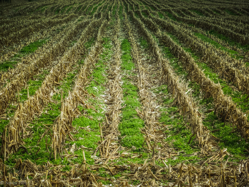 10-19-19:  Corn stubble