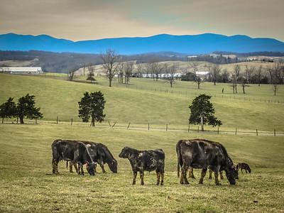 3-11-119: Muddy cows.