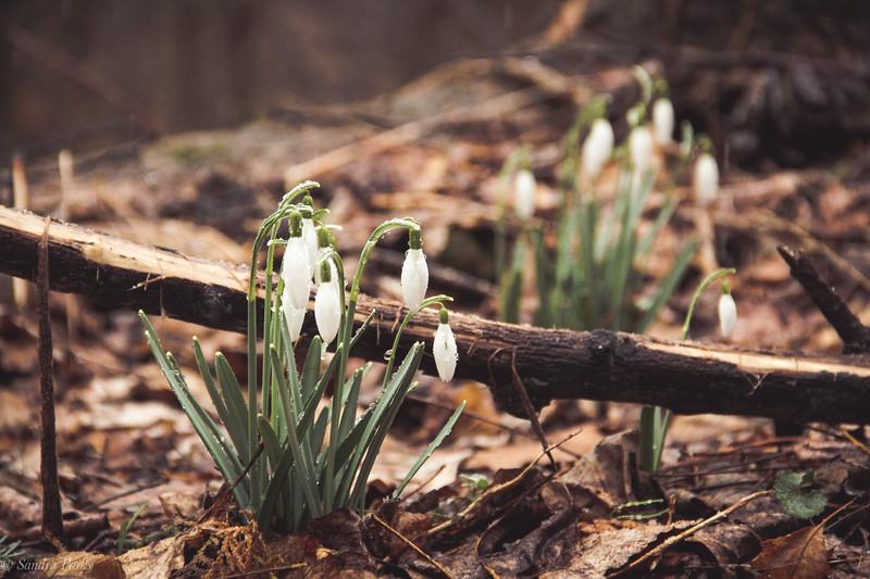 3-3-19: Snowdrops, Wildwood