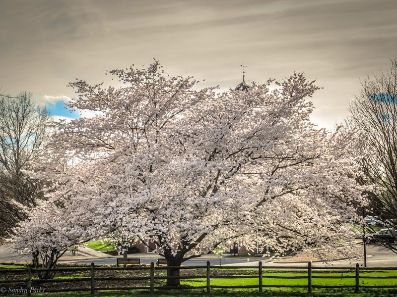 4-9-19: Town tree, Bridgewater