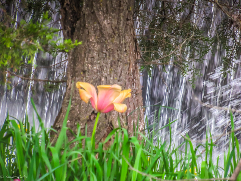 4-25-19: Tulip by the waterfall