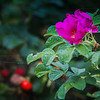 8-16-19: Roses, West Bank