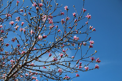 3-16-19: Tulip magnolias in a bluebird sky