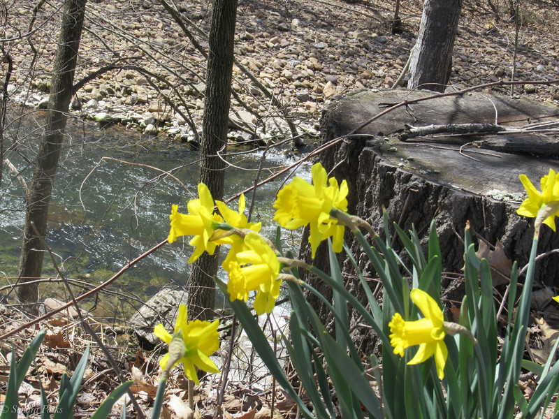 3-31-19: Daffodils above the Dry River