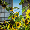 8-5-19: Sunflowers and silos