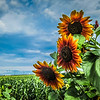 8-7-19: SUnflowers after a storm