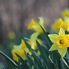 3-24-19: Wildwood daffodils