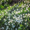 4-18-19: Briery Branch Bank of Daffodils