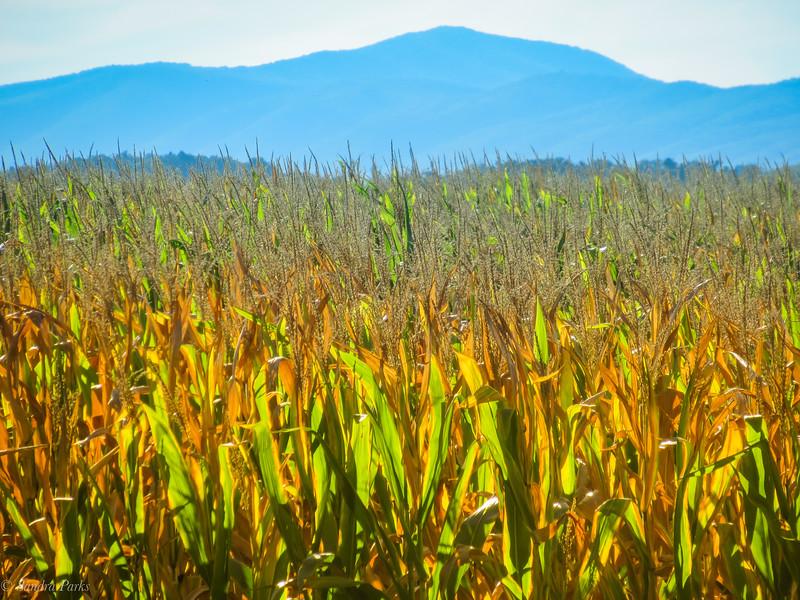 9-24-19: Golden corn field, and the Alleghenies.