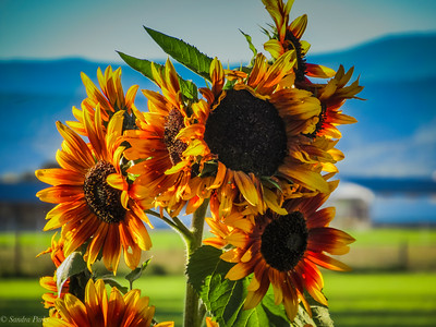 10-11-19: Last of the sunflowers?