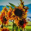 10-11-19: Last of the sunflowers?