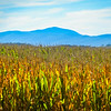 9-24-19: Golden corn field, and the Alleghenies.